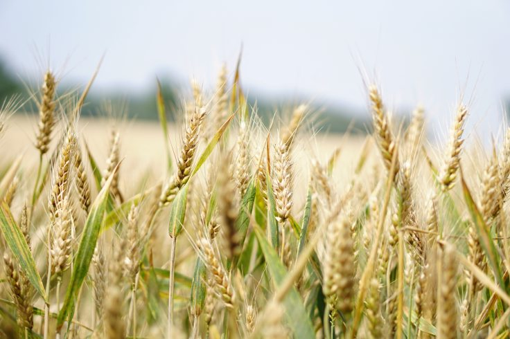 agriculture-arable-barley-265216